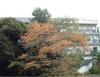051126yamazakura_kouyou