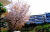 080329yamazakura_hoka_hana2008032_2