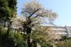 080407_0406yamazakura_from_taiikuka