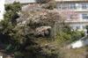 081218_0604gatu_no_yamazakuramank_3