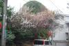 090225umenohana_in_rain