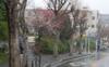 090225umenohana_in_rain2