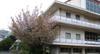 100404ookurayamayamazakura04_taiiku