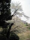 100404yamazakura47_by_hosimiyukisan