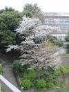100404yamazakura50_by_hosimiyukisan