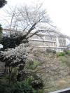 100404yamazakura53_by_hosimiyukisan