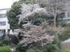 100404yamazakura55_by_hosimiyukisan