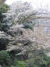 100404yamazakura63_by_hosimiyukisan