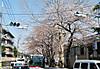 20130322sakura_in_huzokusyo0004
